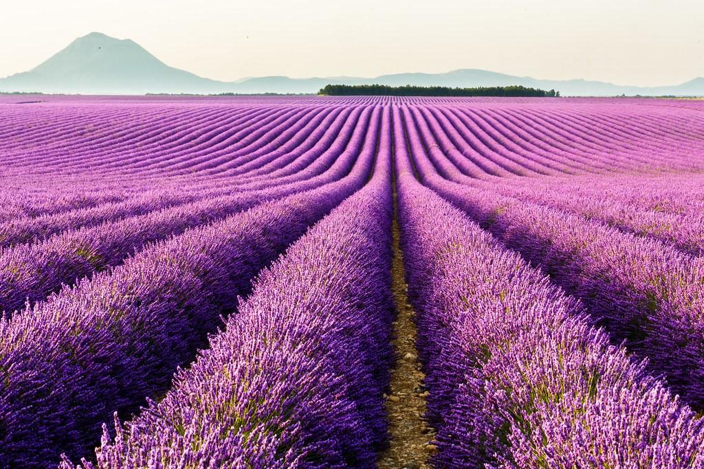 Aromaterapia: gli oli essenziali per il benessere psicofisico. I filari di lavanda a Valensole (FR)